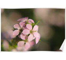 Pink Diosma flower Poster