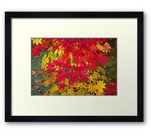 Scarlet and gold autumn maple leaves Framed Print