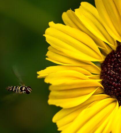 Sunflower landing strip Sticker