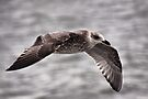 Young Lesser Black-backed Gull In Full Flight by Jo Nijenhuis