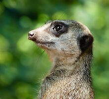 Meerkat by GD-Images