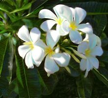 Frangipani Dream by Cary McAulay