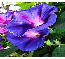 A Pair of Vibrant Morning Glories In Full Bloom Photographic Print