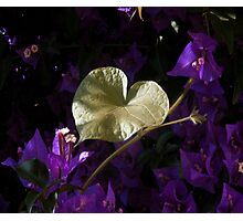 A Heart of Gold Leaf of Morning Glory Photographic Print