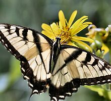 Swallowtail Posing  144 views 9/14/14 by Keala
