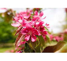 Paradise Apples Flowers Photographic Print