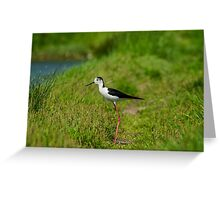 Black-winged Stilt Greeting Card