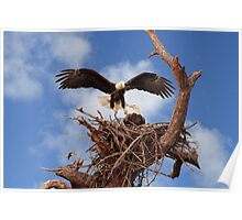 BALD EAGLE LANDING IN NEST Poster