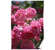 Wild Roses With Garden Background Poster