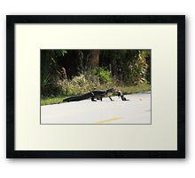 AMERICAN ALLIGATOR RETRIEVES ROAD KILL Framed Print