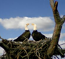 BALD EAGLE COURTSHIP by TomBaumker