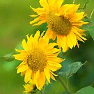 Sunflowers  by M.S. Photography/Art