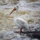 American White Pelican by Vickie Emms
