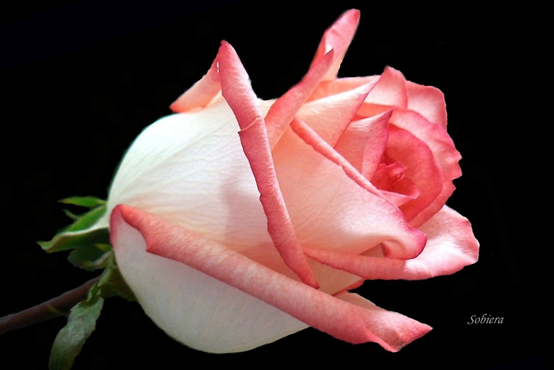 Pink rose by Rosemary Sobiera