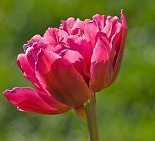 Backlit Fluffy Tulip by Gerda Grice