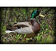 Mr. Mallard Photographic Print