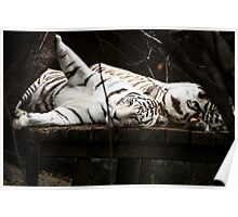Snow Tigers Resting Poster