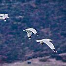 Gulls over Carmel River by Yukondick