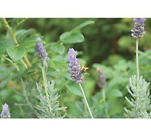Humble Bee, Bumble Bee. Photographic Print