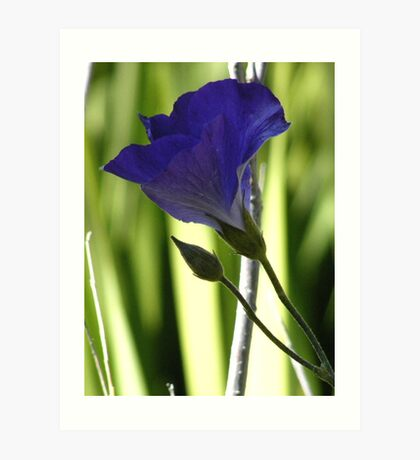 The single Morning Glory is here for only one day..... Art Print