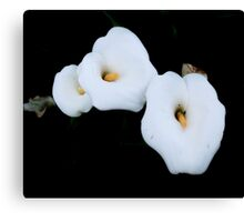 Three Calla Lilies Isolated On A Black Background Canvas Print