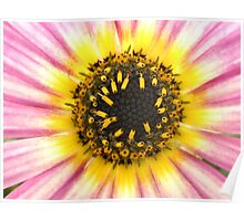 Pink and White Daisy Poster