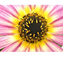Pink and White Daisy Photographic Print
