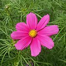 Cosmos Rejoicing by kathrynsgallery
