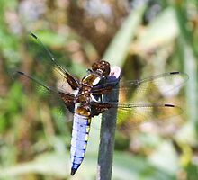 Male broad bodied bhaser dragonfly by missmoneypenny