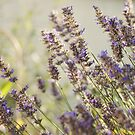 I HEART LAVENDER by AbigailChanelle