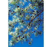 Scots Pine Photographic Print