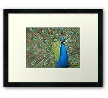 Peacock Strutting Framed Print