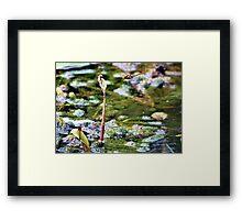 Common darter dragonflies Framed Print