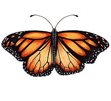 Monarch Butterfly. Photographic Print