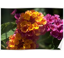 yellow and pink flowers Poster