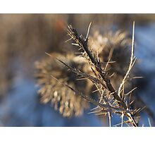 Closeup of a brown thistle stem in winter macro Photographic Print