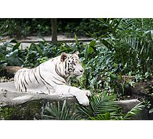 Snow Tiger Photographic Print