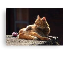 Ginger cat with dark background Canvas Print