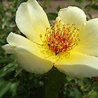 Flower Close-Up, Santa Fe, New Mexico by lenspiro