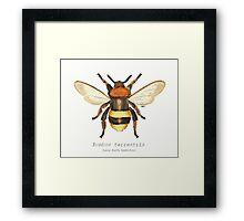 Bombus terrestris (Large Earth Bumblebee) Framed Print