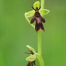 The beautiful and rare fly orchid by miradorpictures