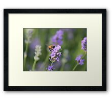 Lavender and a Bumble Bee Framed Print