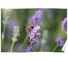 Lavender and a Bumble Bee Poster