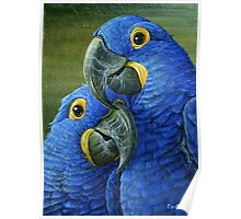 Hyacinth Blue Macaw, parrot painting Poster