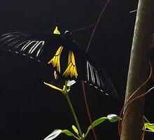 Birdwing butterfly... by Poete100