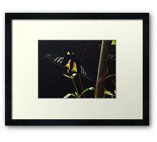 Birdwing butterfly... Framed Print