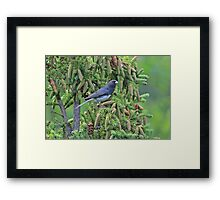 Junco Among the Cones Framed Print