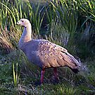 Cape Barren Goose/Gander by Bev Pascoe