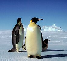 Emperor penguins by Morag Anderson