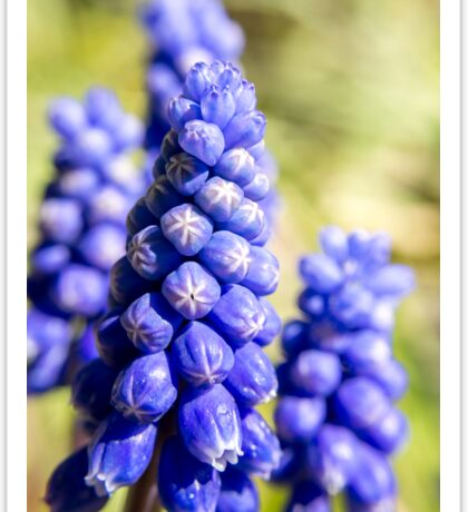 Grape Hyacinth Sticker